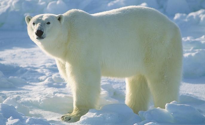 Beruang Kutub, nama bakal capres alternatif yang diajukan oleh salah satu sayap organisasi partai. Kaya dan populer di kalangan pecinta lingkungan, diperkirakan pencalonannya akan terbatas menjadi bakal calon wakil presiden. (photo courtesy polarbearsinternational.org)